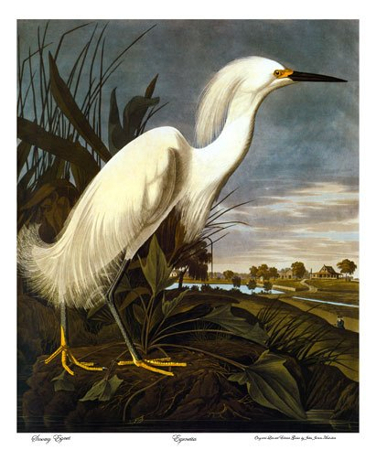 "John James Audubon ""Snowy Egret""BIG Beautiful Art Print"