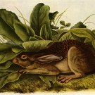 """Jack Rabbit"" BIG John James Audubon Art Print"
