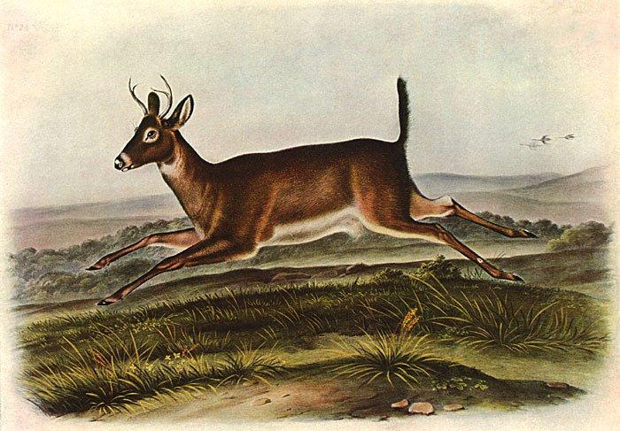 "John James Audubon ""White-Tailed Deer Male"" Art Print"
