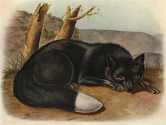 "John James Audubon ""Silver Fox"" Beautiful Art Print"