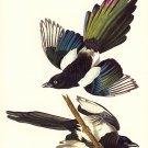 "John James Audubon ""American Magpie"" Art Print"