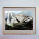 """Trumpeter Swan"" John James Audubon Beautiful Art Print"