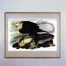 "John James Audubon ""Bald Eagle"" Beautiful Art Print"