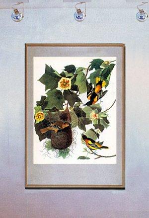 "John James Audubon ""Baltimore Oriole"" Art Print"