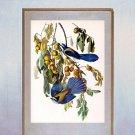 """John James Audubon """"Florida Jay"""" Beautiful Art Print"""
