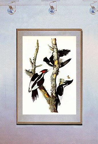 """""""Ivory Billed Woodpecker"""" Audubon Beautiful Art Print"""