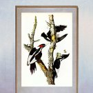 """Ivory Billed Woodpecker"" Audubon Beautiful Art Print"