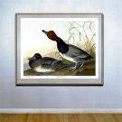 "Audubon ""Red-Headed Duck"" Double Elephant Folio Edition"