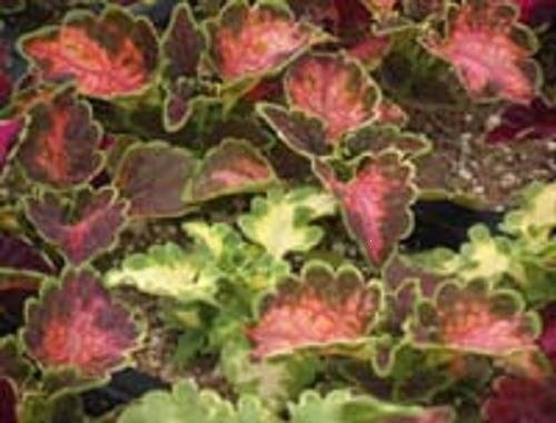 BULK - COLEUS CAREFREE MIX colorful shade plant 500 seeds