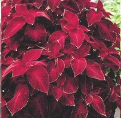 COLEUS WIZARD VELVET RED shade, house plant 50 seeds