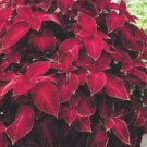COLEUS WIZARD VELVET RED shade, house plant 50 seeds
