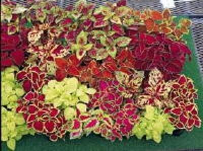 BULK - Dwarf COLEUS FAIRWAY MIX ground cover 500+ seeds