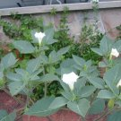 DATURA INOXIA white devil's trumpet 10 seeds