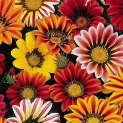 BULK - GAZANIA SUNSHINE MIX SPLENDENS 1000+ seeds