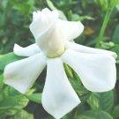 BULK - CAPE JASMINE GARDENIA JASMINOIDES fragrant 200 seeds