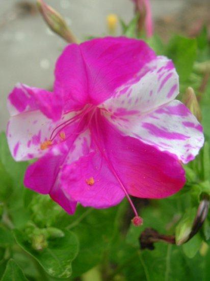 FOUR O' CLOCK M..JALAPA mix mirabilis  10 seeds