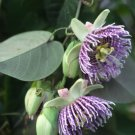 PASSIFLORA LIGULARIS Sweet grenadilla 10 seeds