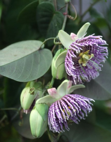 PASSIFLORA LIGULARIS Sweet grenadilla 100 seeds