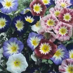 CONVOLVULUS ENSIGN MIX dwarf Morning Glory 30 seeds