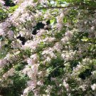 BEAUTYBUSH KOLKWITZIA AMABILIS 10 seeds