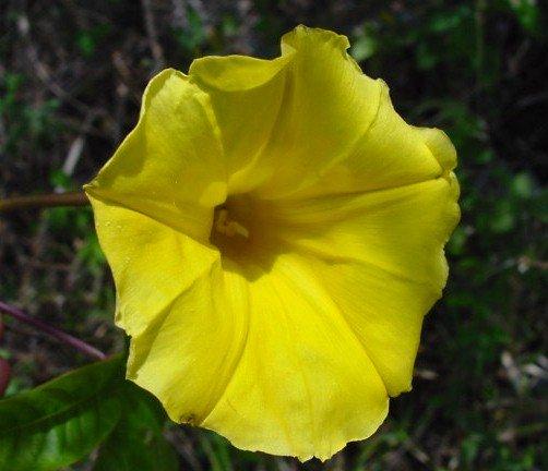 IPOMOEA MERREMIA TUBEROSA Hawaiian Woodrose Morning Glory 100 seeds
