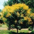 GOLDEN RAIN TREE KOELREUTERIA PANICULATA 10 seeds