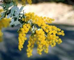 GOLDEN MIMOSA ACACIA BAILEYANA 10 seeds