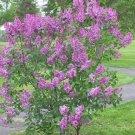 FRENCH LILAC SYRINGA VULGARIS extremly fragrant 10 seeds