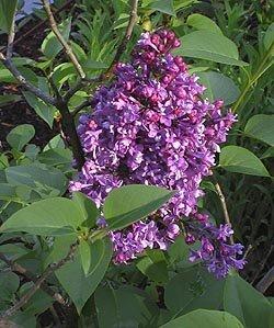 BULK FRENCH LILAC SYRINGA VULGARIS extremly fragant 100 seeds