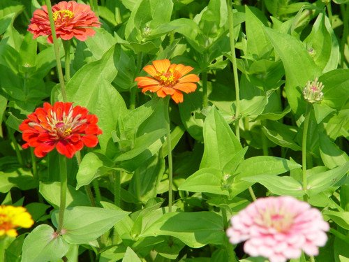 ZINNIA CALIFORNIA GIANT MIX 100 seeds