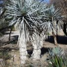 BULK BLUE YUCCA RIGIDA  showy specimen winter hardy 100 seeds