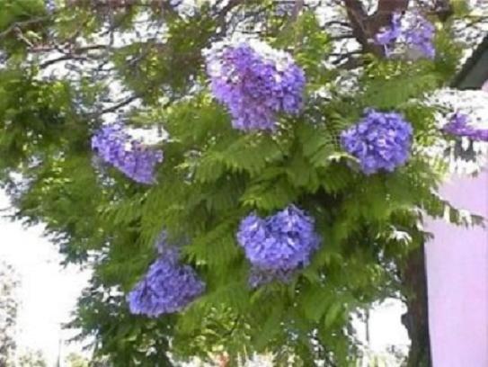 BLUE JACARANDA MIMOSIFOLIA flowering tree 10 seeds