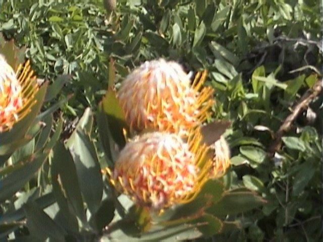 KING PROTEA CYRANOIDES orange 5 seeds