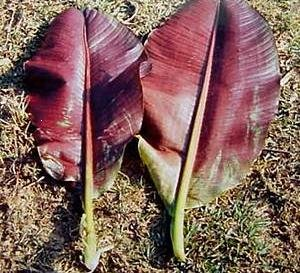 MUSA SIKKIMENSIS sp. Red Tiger winter hardy 5 seeds