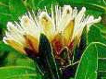 PROTEA SUBVESTITA Waterlily sugarbush 5 seeds