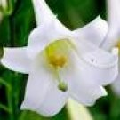 Formosa LILY LILIUM FORMOSANUM very fragrant 10 seeds