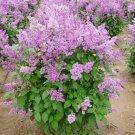 LATE LILAC SYRINGA VILLOSA extremly fragrant 15 seeds