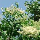 JAPANESE TREE LILAC SYRINGA RETICULATA  fragant 15 seeds