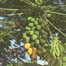 MELON TREE - CARICA PAPAYA 10 seeds