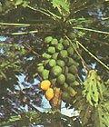 BULK - MELON TREE - CARICA PAPAYA 100 seeds