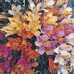 PERUVIAN LILY ALSTROEMERIA AURANTIACA 10 seeds