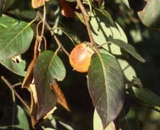PERSIMMON TREE Diospyros virginiana 10 seeds