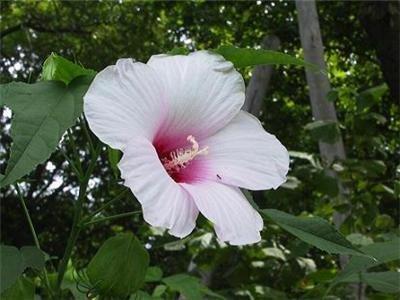 BULK - Hardy HIBISCUS MILITARIS white - pale pink 200 seeds