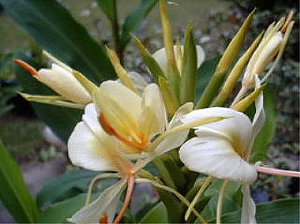 YELLOW GINGER Hedychium Flavum extremely fragrant 10 seeds