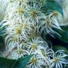 White CLEMATIS VIRGINIA fully hardy 20 seeds
