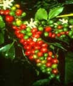 COFFEA ARABICA COFFEE frost hardy 10 seeds