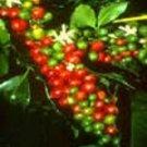 COFFEA ARABICA COFFEE frost hardy 50 seeds