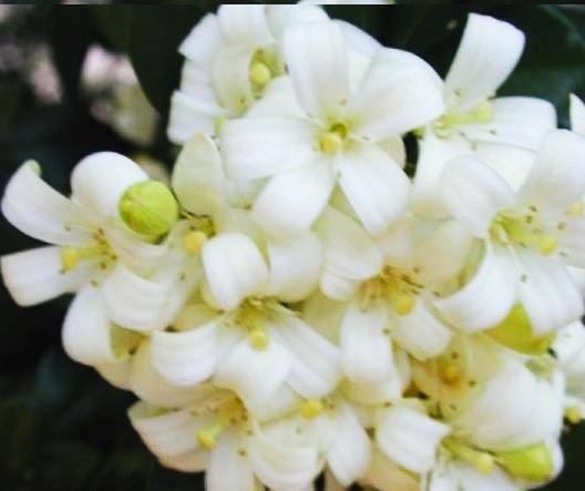BULK ORANGE JASMINE MURRAYA PANICULATA very fragrant 100 seeds
