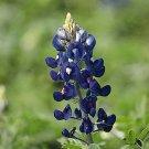 TEXAS BLUEBONNET Lupinus Texensis 30 seeds