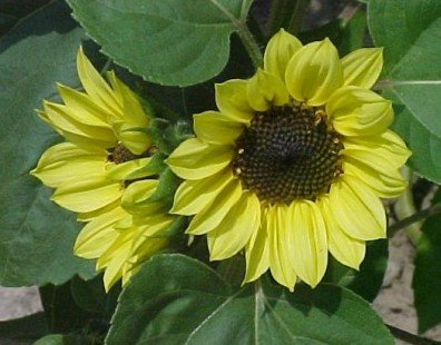SUNFLOWER VALENTINE multi branched pale yellow 30 seeds